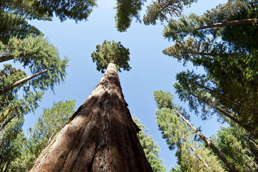 YOSEMITE VALLEY Giant Sequoias