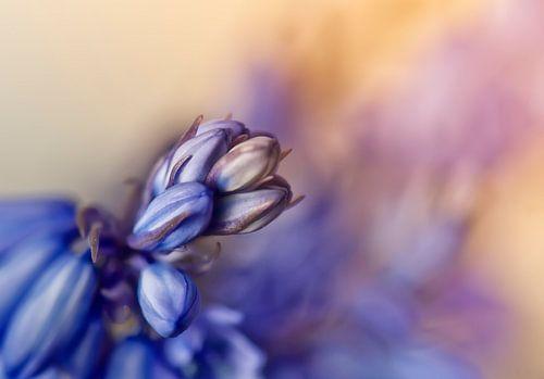 Boshyacint in bloei van Ellen Driesse