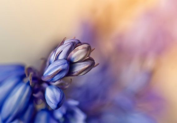 Boshyacint in bloei