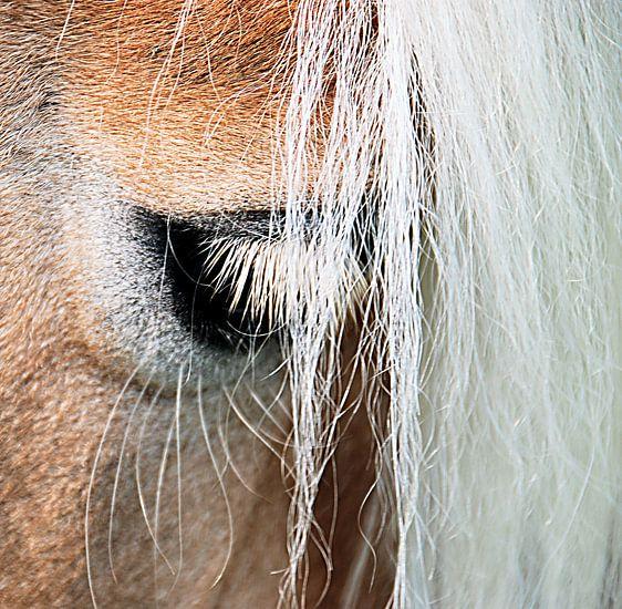 Ojo: het oog van de haflinger