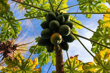 Papaja's in de boom van Adri Vollenhouw