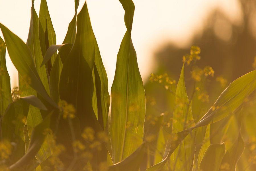 Mais bladeren bij ondergaande zon
