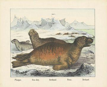 Zeehond, firma Joseph Scholz, 1829 - 1880