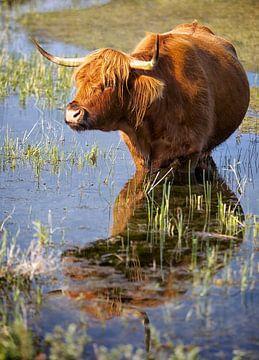 Hooglander in het water van Fotografie Egmond