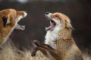 vechtende vossen in de Amsterdamse Waterleidingduinen van