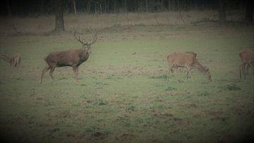Herten, Zwijnen, hert wild zwijn van Gijs van Veldhuizen