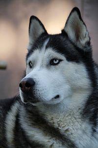 Husky Igor 5 kleur van Samanta van Wezel