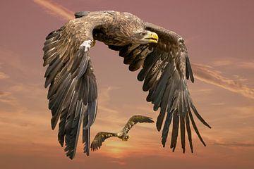 Twee  Europese Zeearenden vliegen tegen een dramatische oranje geel/gouden lucht. één vogel vol in b van Gea Veenstra