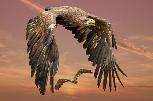 Twee  Europese Zeearenden vliegen tegen een dramatische oranje geel/gouden lucht. één vogel vol in b