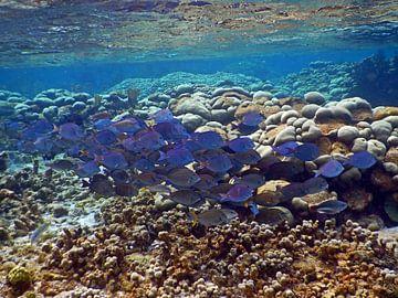 School Vis, Blue Tang  Bonaire van Silvia Weenink