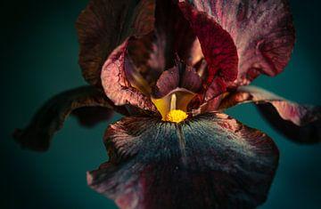 Schwarze Iris, schwarze Iris, schwarze Iris von Annemarie Ostendorf