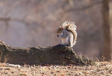 Eekhoorn in Central Park New York City van Marcel Kerdijk