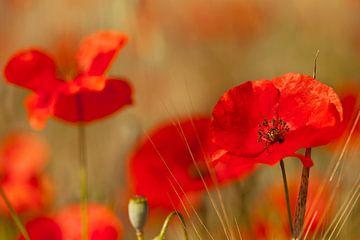 Roter Mohn auf dem Feld von Ivonne Wierink