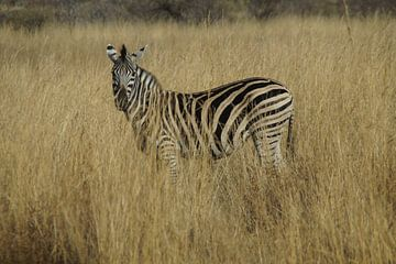 Zebra, Pilanesberg, Zuid-Afrika von Maurits Bredius