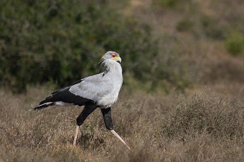 Een secretarisvogel op jacht in Addo Elephant Park. van Ron Poot