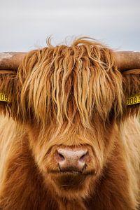 Schotse hooglander 1