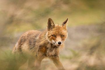 Fox in den Amsterdamer Wasserdünen von Lia Hulsbeek Brinkman