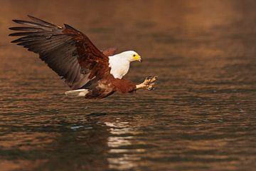African Fish Eagle von Robert van Brug