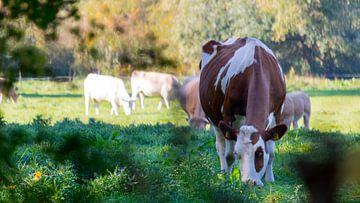 Dutch cows van