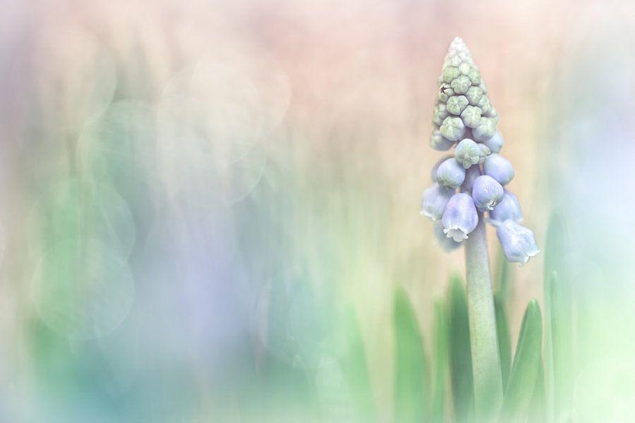 Lovely Grape Hyacinth van Bob Daalder