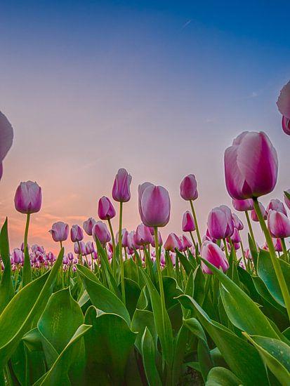 Hollandsche tulpen bij zonsondergang