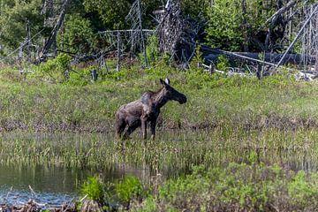 Grazende jonge eland in Canada van Stephan Neven