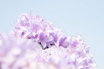 Zarte Farbe lila | Frühlingsblumen von Wendy Boon
