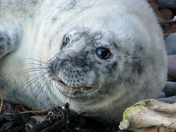 Grijze zeehond pup van Marjoleine Roos