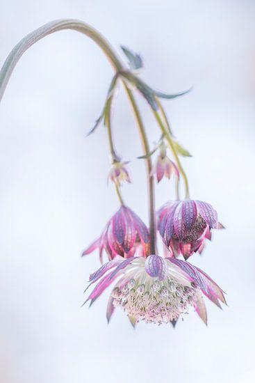 Flower, bloem, zeeuwsknoopje
