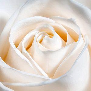Een liefdes roos