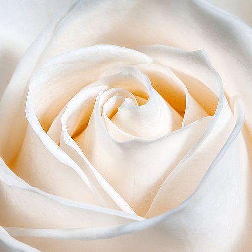 Een liefdes roos van