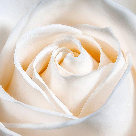 Een liefdes roos van Nicole Jagerman