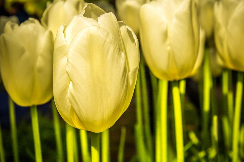 Witte tulpen in de zon van Koop je Canvas