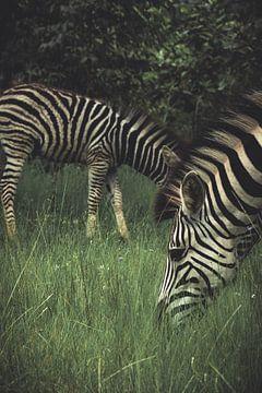 zebra's. van Niels Jaeqx