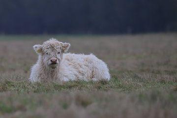 Blonde Schotse Hooglander kalf van Karin van Rooijen Fotografie