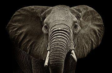 Elephant von Sasha Donker