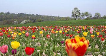 Tulpenfeld in Süddeutschland von Achim Prill