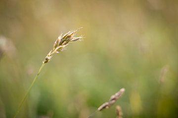 Gras aren in tegenlicht van Rob IJsselstein