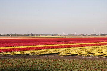 Tulpenveld van Kyra Hoekema