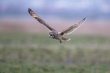 Velduil in de vlucht op zoek naar muizen Landschap  von Ronald Groenendijk