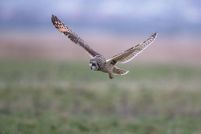 Velduil in de vlucht op zoek naar muizen Landschap  van Ronald Groenendijk
