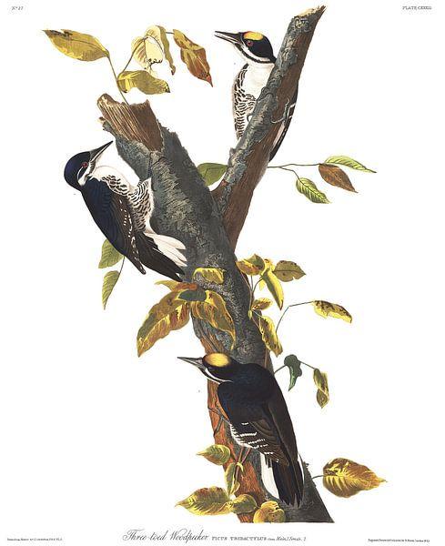Three-Toed Specht van Birds of America