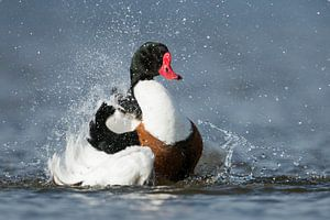 Shelduck  ( Tadorna tadorna ) taking a bath