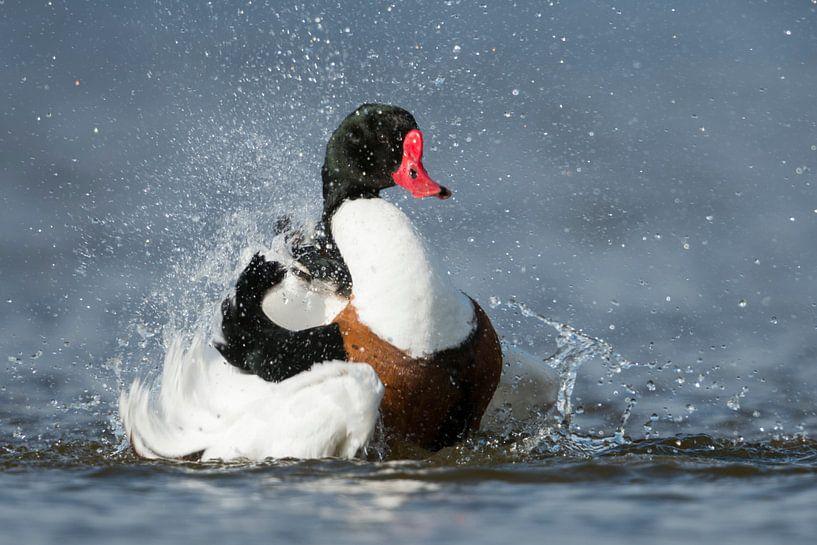 Shelduck  ( Tadorna tadorna ) taking a bath van wunderbare Erde