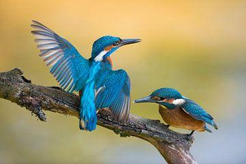 Eisvogel  ( Alcedo atthis ),  Altvogel weist dem Nachwuchs den Weg von wunderbare Erde