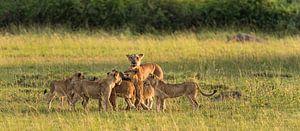Leeuwin met welpen van