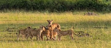 Leeuwin met welpen van Albert van Heugten
