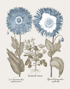 Basilius Besler-Daddy mit französischen Blütenblättern