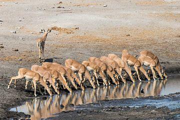Drinkende impala's op een rij in Etosha NP van Henri Kok