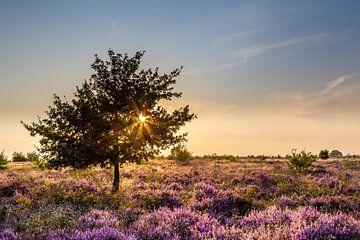 Landschaft blühenden Heidekraut bei Sonnenuntergang von Hilda Weges